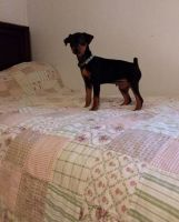 Miniature Pinscher Puppies for sale in Manilla, IN 46150, USA. price: NA