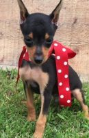 Miniature Pinscher Puppies for sale in Raleigh, NC 27668, USA. price: NA