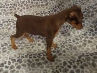 Miniature Pinscher Puppies for sale in Salt Lake City, UT, USA. price: NA