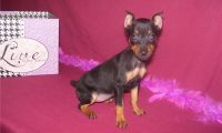 Miniature Pinscher Puppies for sale in Gillette, WY, USA. price: NA