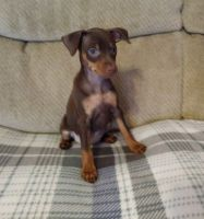 Miniature Pinscher Puppies for sale in Beaverton, OR, USA. price: NA
