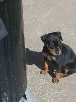 Miniature Pinscher Puppies for sale in Tulsa, OK, USA. price: NA