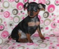 Miniature Pinscher Puppies for sale in Hartford, CT 06156, USA. price: NA