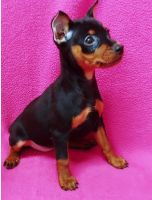 Miniature Pinscher Puppies for sale in Cleveland, OH, USA. price: NA