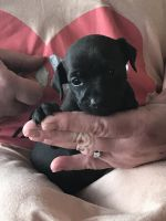 Miniature Pinscher Puppies for sale in Jefferson, NC 28640, USA. price: NA