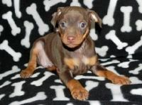 Miniature Pinscher Puppies for sale in Des Moines, IA, USA. price: NA