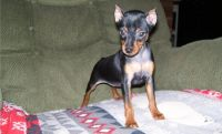Miniature Pinscher Puppies for sale in Fitchburg, MA 01420, USA. price: NA