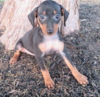 Miniature Pinscher Puppies for sale in Louisville, KY, USA. price: NA