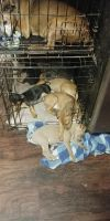 Miniature Pinscher Puppies for sale in Pearl River, LA 70452, USA. price: NA