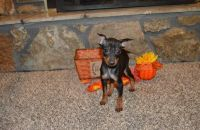 Miniature Pinscher Puppies for sale in Harvey, LA, USA. price: NA