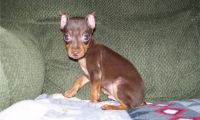Miniature Pinscher Puppies for sale in Vancouver, WA, USA. price: NA