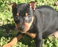 Miniature Pinscher Puppies for sale in Irvine, CA, USA. price: NA