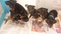 Miniature Pinscher Puppies for sale in Lucedale, MS 39452, USA. price: NA