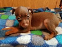 Miniature Pinscher Puppies for sale in Monett, MO, USA. price: NA