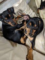 Miniature Pinscher Puppies for sale in 1355 Rockaway Rd, Senoia, GA 30276, USA. price: NA