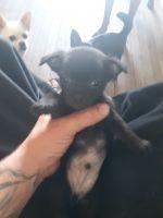 Miniature Pinscher Puppies for sale in Grand Haven, MI, USA. price: NA