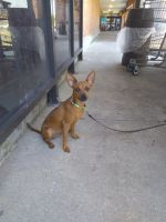 Miniature Pinscher Puppies for sale in Dayton, OH 45415, USA. price: NA