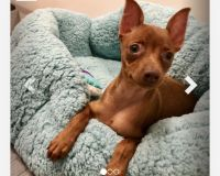 Miniature Pinscher Puppies for sale in Brooklyn, NY, USA. price: NA
