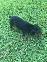 Miniature Pinscher Puppies for sale in Groves, TX 77619, USA. price: NA
