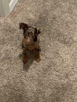 Miniature Pinscher Puppies for sale in Estero, FL, USA. price: NA