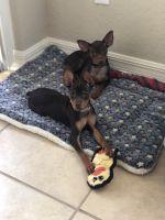 Miniature Pinscher Puppies for sale in Bradenton, FL, USA. price: NA