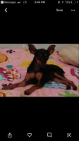Miniature Pinscher Puppies for sale in Indianapolis, IN 46201, USA. price: NA