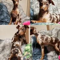 Miniature Pinscher Puppies for sale in Valley Center, CA, USA. price: NA