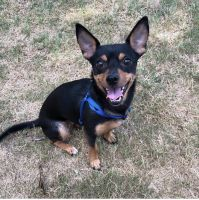 Miniature Pinscher Puppies for sale in Fort Worth, TX 76155, USA. price: NA