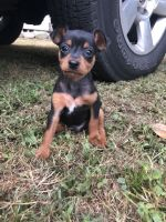Miniature Pinscher Puppies for sale in Pensacola, FL, USA. price: NA
