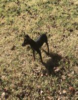 Miniature Pinscher Puppies for sale in Smyrna, TN, USA. price: NA