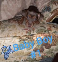 Miniature Pinscher Puppies for sale in Weirton, WV 26062, USA. price: NA