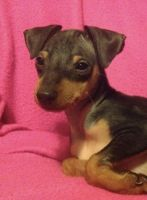Miniature Pinscher Puppies for sale in Williams, CA 95987, USA. price: NA