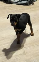Miniature Pinscher Puppies for sale in Belvidere, IL 61008, USA. price: NA