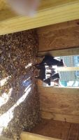 Miniature Pinscher Puppies for sale in Pembroke, NC 28372, USA. price: NA