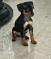 Miniature Pinscher Puppies Photos