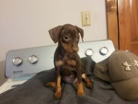Miniature Pinscher Puppies for sale in Richland Center, WI 53581, USA. price: NA