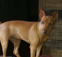 Miniature Pinscher Puppies for sale in Westville, OK, USA. price: NA