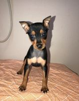 Miniature Pinscher Puppies for sale in Lawrenceville, GA, USA. price: NA