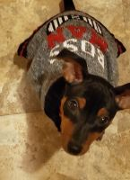 Miniature Pinscher Puppies for sale in Munster, IN, USA. price: NA