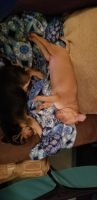 Miniature Pinscher Puppies for sale in Lakemoor, IL, USA. price: NA