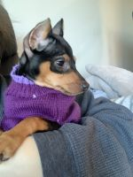 Miniature Pinscher Puppies for sale in Easton, PA, USA. price: NA