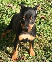 Miniature Pinscher Puppies for sale in Lansing, MI, USA. price: NA