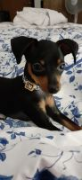 Miniature Pinscher Puppies for sale in 56007 S Newton Ave, Albert Lea, MN 56007, USA. price: NA