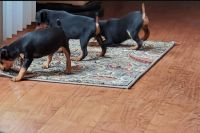 Miniature Pinscher Puppies for sale in Clarksville, TN 37043, USA. price: NA