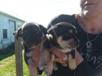 Miniature Pinscher Puppies for sale in Springfield, OR 97477, USA. price: NA