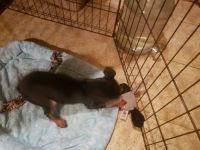 Miniature Pinscher Puppies for sale in 17085 KY-259, Leitchfield, KY 42754, USA. price: NA