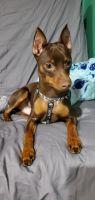 Miniature Pinscher Puppies for sale in Tamarac, FL, USA. price: NA