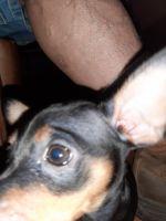 Miniature Pinscher Puppies for sale in Raritan, NJ 08869, USA. price: NA