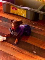 Miniature Pinscher Puppies for sale in Lodi, CA, USA. price: NA