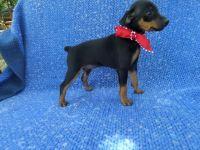 Miniature Pinscher Puppies for sale in La Habra Heights, CA, USA. price: NA